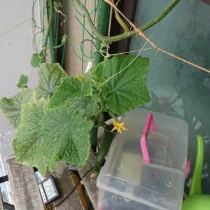 こあまちゃん(ミニトマト)・なるなる(キュウリ)・よくなるゴーヤ(ゴーヤ)の水耕栽培 2020年7月3日