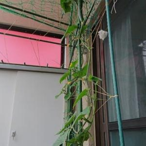 こあまちゃん(ミニトマト)・なるなる(キュウリ)・よくなるゴーヤ(ゴーヤ)の水耕栽培 2020年7月12日