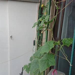 こあまちゃん(ミニトマト)・なるなる(キュウリ)・よくなるゴーヤ(ゴーヤ)の水耕栽培 2020年7月13日