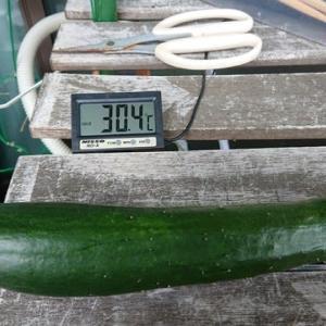 こあまちゃん(ミニトマト)・なるなる(キュウリ)・よくなるゴーヤ(ゴーヤ)の水耕栽培 2020年7月16日