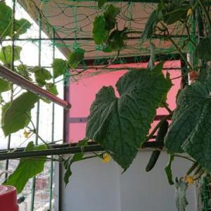 こあまちゃん(ミニトマト)・なるなる(キュウリ)・よくなるゴーヤ(ゴーヤ)の水耕栽培 2020年8月4日