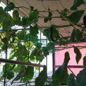 こあまちゃん(ミニトマト)・なるなる(キュウリ)の水耕栽培 2020年8月14日