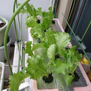 水耕栽培2020年秋冬版始めました レタス(グレートレーク)10月28日