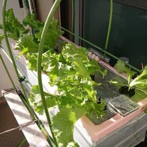 水耕栽培2020年秋冬版始めました レタス(グレートレーク)10月30日