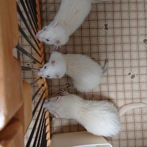 白い(ФωФ)