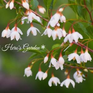 エゴノキのお花