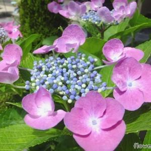 紫色なガクアジサイ