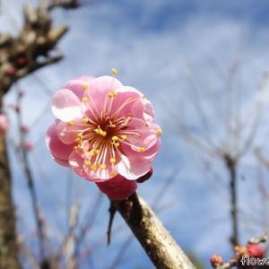 梅の開花と花待ち中のストック 1/28