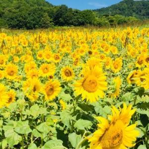 盛夏を目で楽しむ。福島県喜多方にある三ノ倉ひまわり畑