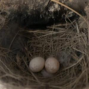 ツバメさんの卵。