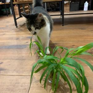 【ミントちゃん】ミントちゃんと猫草