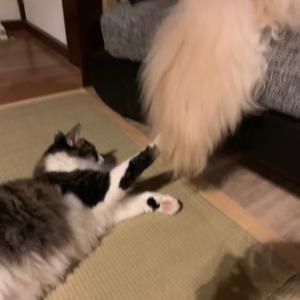 巨大猫じゃらしで遊ぶミントちゃん。