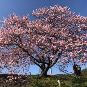 南伊豆で桜を愛でる 今年は早咲き