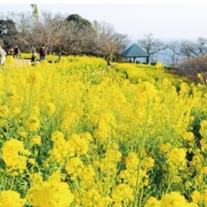 吾妻山菜の花がまた早咲き誇る