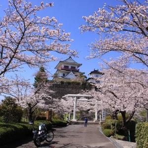やっと宮城、岩手も桜が満開だ~