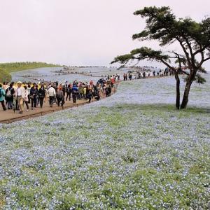 「ひたち海浜公園」のネモフィラ~平成最後の日
