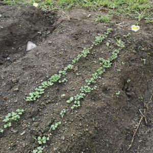 【畑日記】小松菜とおでん大根の発芽☆