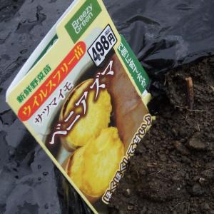 【畑日記】黒枝豆とさつまいも