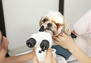 ☆愛犬の白内障手術に悩む
