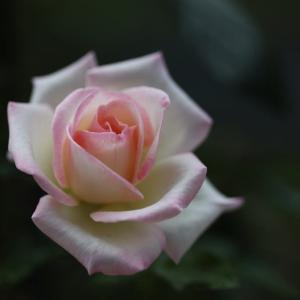 四季バラのマクロ撮影