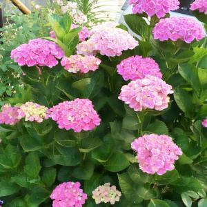 我が家の紫陽花は赤紫(ってか、ピンク)