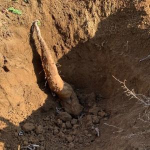 ナガイモ掘り