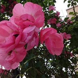 秋バラ咲きなおし