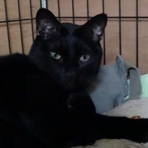週刊「老人ホームに暮らす動物たち」 黒猫のうちの子記念日 ~飼い主に幸運をもたらしてくれる黒猫~