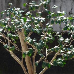 週刊「四季の花々と木々」 椿の寄贈 ~椿の妖しい魅力~