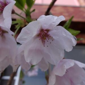 週刊「四季の花々と木々」 ソメイヨシノ ~繁栄は、樹木だけに当てはまることではない~