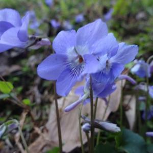 週刊「四季の花々と木々」 紫色の花々 ~心身が疲れてしまったときに紫の癒しを~