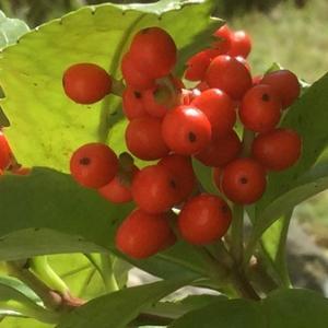 週刊「四季の花々と木々」 センリョウ ~不況またよし。不況は改善、発展への好機である~