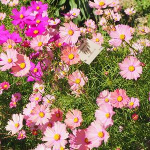 コスモスの咲く 京都府立植物園
