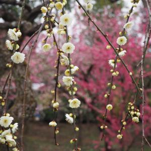 北野天満宮の梅苑② メジロと梅花