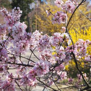 再び 桜の咲き始めた 京都府立植物園へ