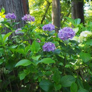 2021 6月 真如堂の紫陽花