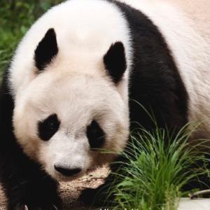 神戸王子動物園のタンタン🐼中国へ帰る