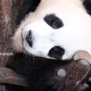 List.27 【パンダ🎀結浜🐼威嚇⁉️】パンダだって夢を見る⁉️😴何があったの⁈