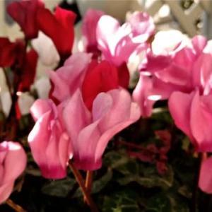 胡蝶蘭、咲き始めた
