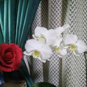 胡蝶蘭、まだ咲いてますね。ロングランだ。