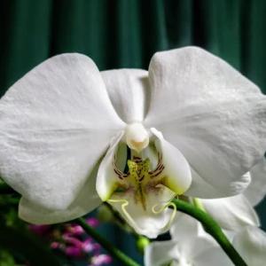 胡蝶蘭、二十一輪目が開花していた!