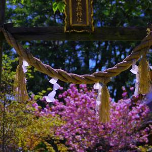 高千穂神社 八重桜