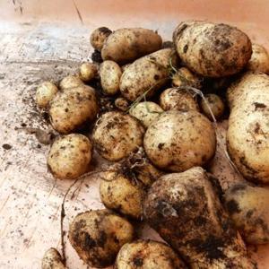 イモの収穫(北海道ではイモといったら馬鈴薯ですよ)