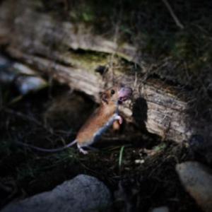安曇野・水辺の生命の物語  ~アカネズミとジムグリ(へび)~