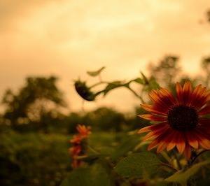 暑中お見舞い申し上げます   ~安曇野のゴールデンアワー~