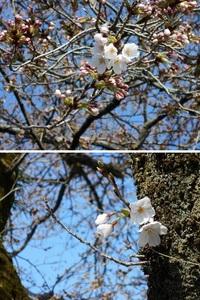 境内桜が開花