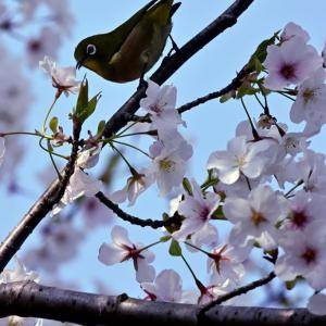 梅にウグイス,桜にはメジロ …… 海の中道海浜公園のサクラ