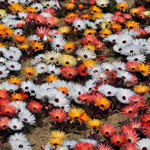 花カーペット 海の中道海浜公園のオステオスペルマム