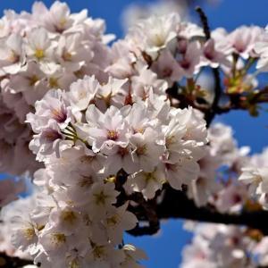青空とコラボ。これぞ桜の楽しみです! …… 海の中道海浜公園などのソメイヨシノ