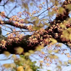 満開なのは桜だけではありません! …… 福岡市植物園のイロハモミジ